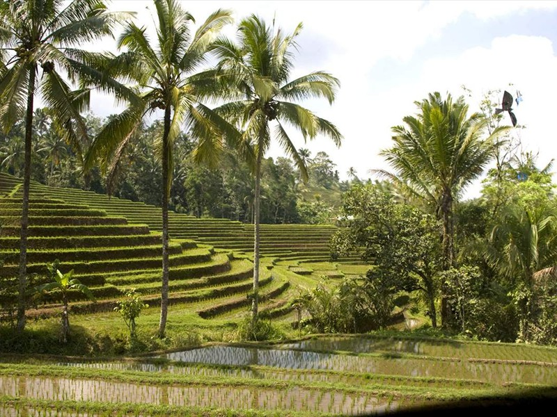 rijstvelden1