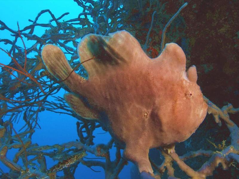 Antennarius Menjangan Post2 Corner C R (11)